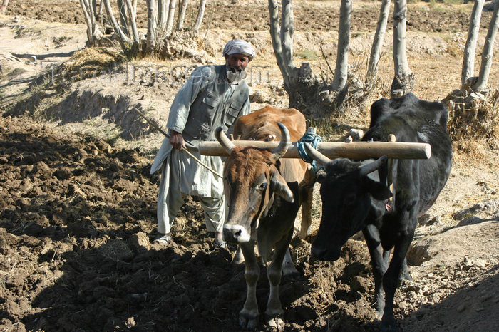 afghanistan23: Afghanistan - Herat province - farmer ploughing with oxen - photo by E.Andersen - (c) Travel-Images.com - Stock Photography agency - Image Bank