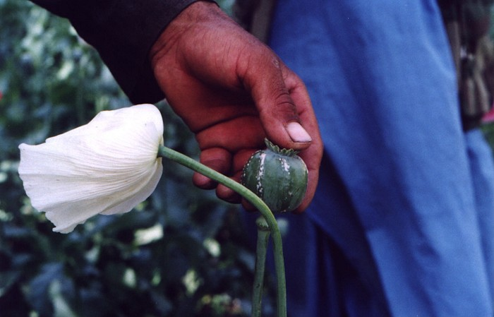 afghanistan3: Afghanistan: Milking a poppy to produce opium and heroin - drug production - agriculture - photo by Anne Dinnan - (c) Travel-Images.com - Stock Photography agency - the Global Image Bank