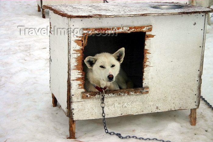 alaska103: Alaska - Skagway: dogsled camp at Denver Glacier - dog house with tenant (photo by Robert Ziff) - (c) Travel-Images.com - Stock Photography agency - Image Bank
