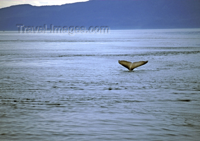 alaska106: Alaska - Juneau: whale - tail (photo by A.Walkinshaw) - (c) Travel-Images.com - Stock Photography agency - Image Bank