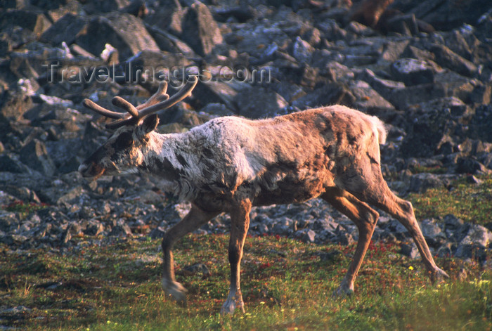 alaska141: Brooks range, Alaska: migration of caribou - photo by E.Petitalot - (c) Travel-Images.com - Stock Photography agency - Image Bank