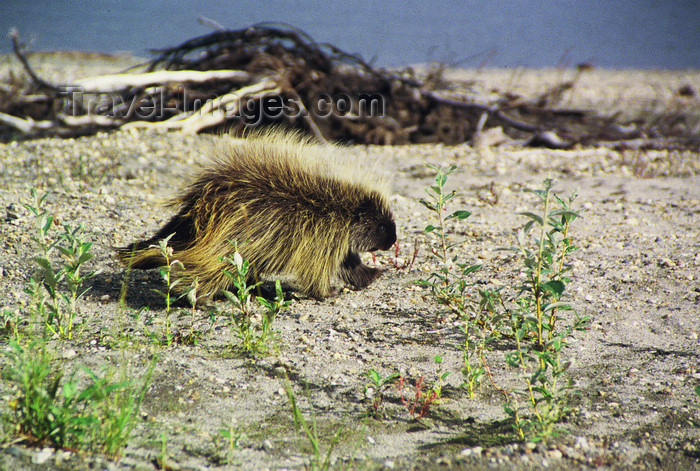alaska152: Alaska - North - Brooks range - porcupine walking on a sand bank of a river - photo by E.Petitalot - (c) Travel-Images.com - Stock Photography agency - Image Bank