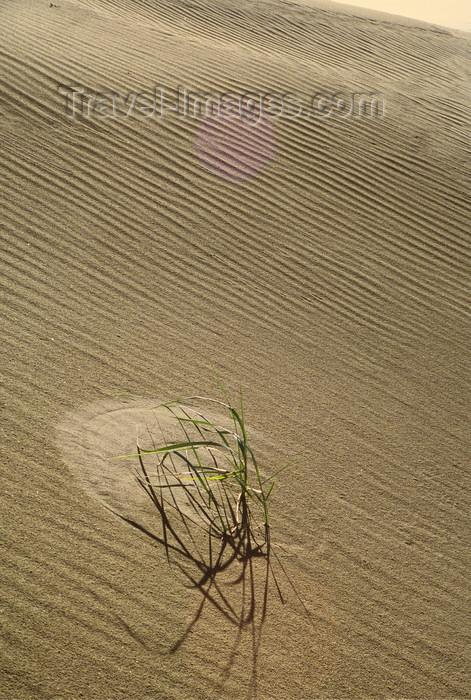 alaska155: Brooks range, Alaska: a plant of grass in the Kobuk sand dune - photo by E.Petitalot - (c) Travel-Images.com - Stock Photography agency - Image Bank