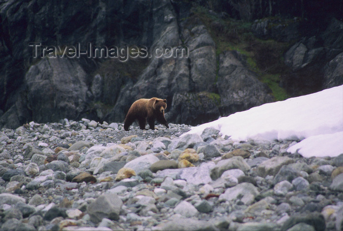 alaska161: Alaska - Glacier bay - grizzly bear - photo by E.Petitalot - (c) Travel-Images.com - Stock Photography agency - Image Bank