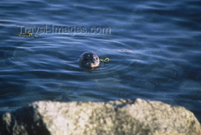 alaska168: Alaska - Glacier bay - lonesome seal - photo by E.Petitalot - (c) Travel-Images.com - Stock Photography agency - Image Bank