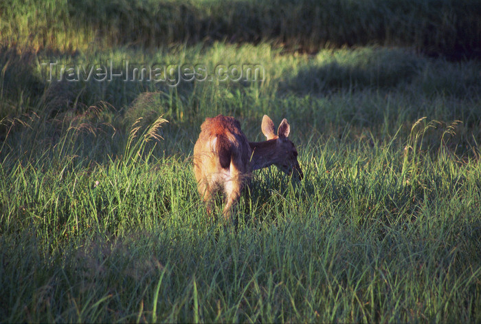 alaska170: Alaska - south - a hind eating grass - photo by E.Petitalot - (c) Travel-Images.com - Stock Photography agency - Image Bank