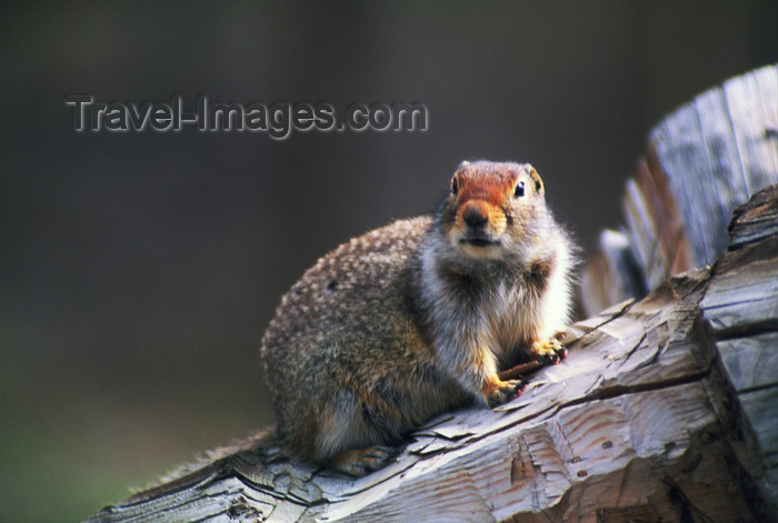 alaska171: Alaska - rodent - photo by E.Petitalot - (c) Travel-Images.com - Stock Photography agency - Image Bank