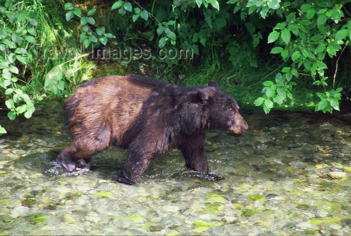 alaska174: Alaska - Yukon river: bear looking for salmons - photo by E.Petitalot - (c) Travel-Images.com - Stock Photography agency - Image Bank