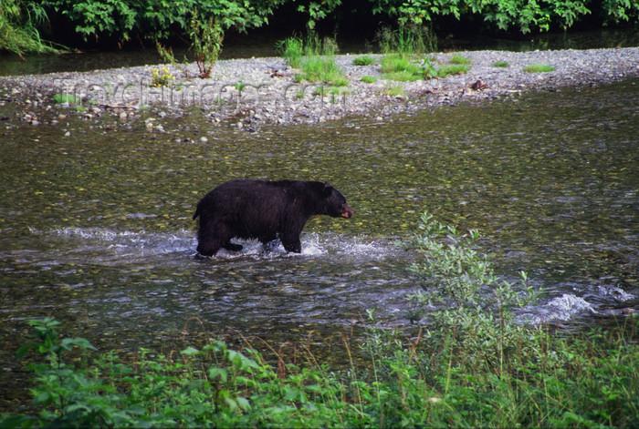 alaska175: Alaska - Yukon river: black bear looking for salmons - photo by E.Petitalot - (c) Travel-Images.com - Stock Photography agency - Image Bank