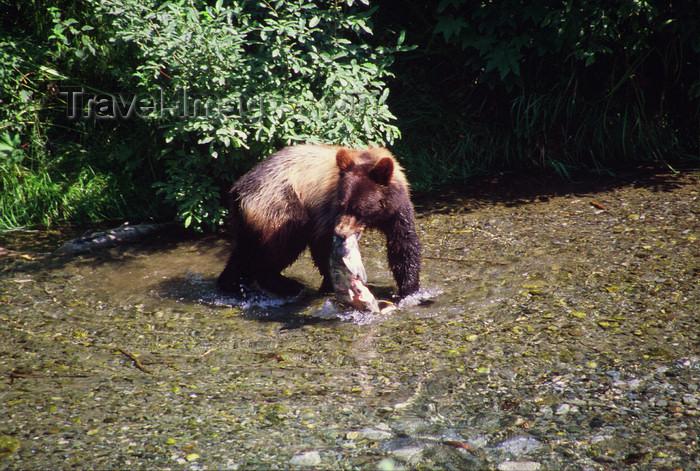 alaska177: Alaska - Yukon river: brown bear eating a salmon - photo by E.Petitalot - (c) Travel-Images.com - Stock Photography agency - Image Bank