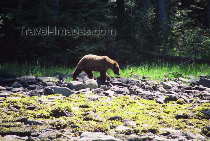 alaska178: Alaska - Admiralty island: brown bear on a stony bank - photo by E.Petitalot - (c) Travel-Images.com - Stock Photography agency - Image Bank