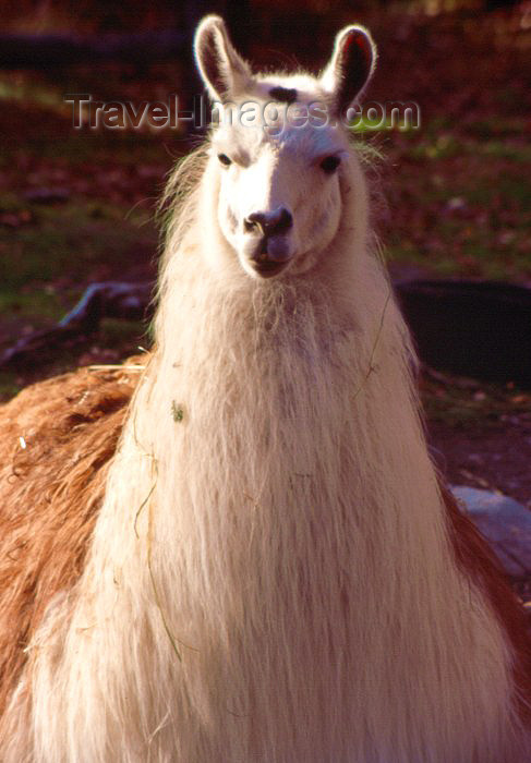 alaska18: Alaska - Anchorage / ANC: Llama / Lama at the zoo - Lama glama - camelid - photo by F.Rigaud - (c) Travel-Images.com - Stock Photography agency - Image Bank