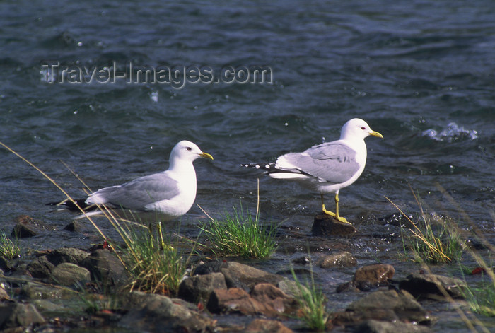 alaska189: Alaska - Yukon river: seagulls - photo by E.Petitalot - (c) Travel-Images.com - Stock Photography agency - Image Bank
