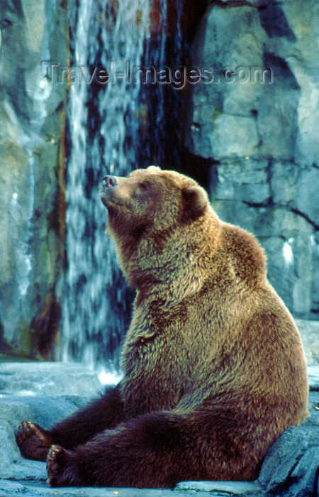 alaska19: Alaska - Anchorage: grizzly bear at the zoo - Ursus arctos - photo by F.Rigaud) - (c) Travel-Images.com - Stock Photography agency - Image Bank