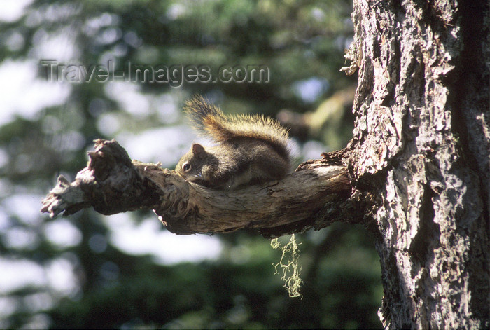alaska191: Alaska - squirrel on a tree - photo by E.Petitalot - (c) Travel-Images.com - Stock Photography agency - Image Bank