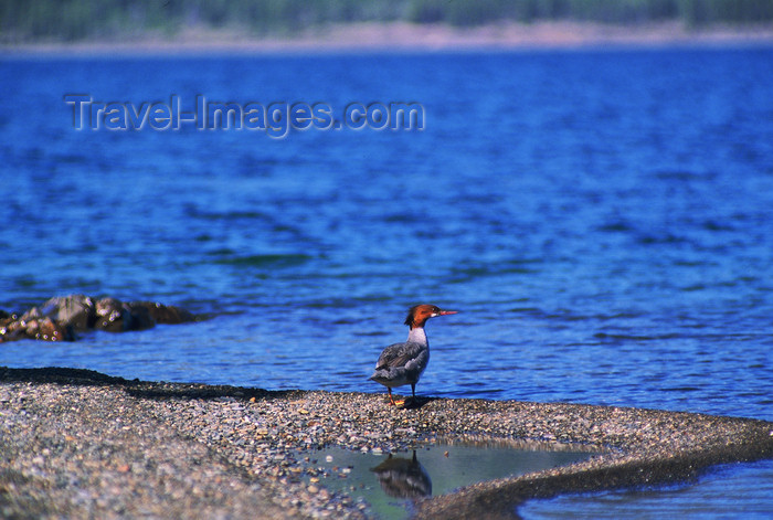 alaska198: Alaska - Yukon river: water bird  - photo by E.Petitalot - (c) Travel-Images.com - Stock Photography agency - Image Bank