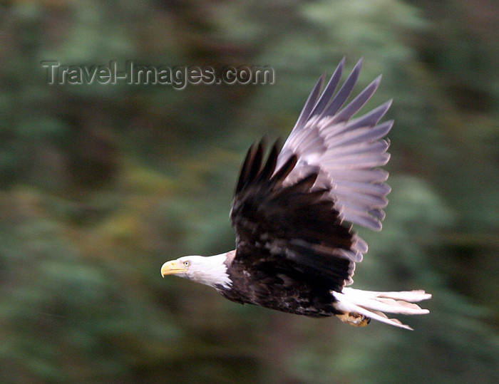 alaska201: Wrangell Island, Alexander Archipelago, Alaska: Bald Eagle in flight- Tongass National Forest - photo by R.Eime - (c) Travel-Images.com - Stock Photography agency - Image Bank