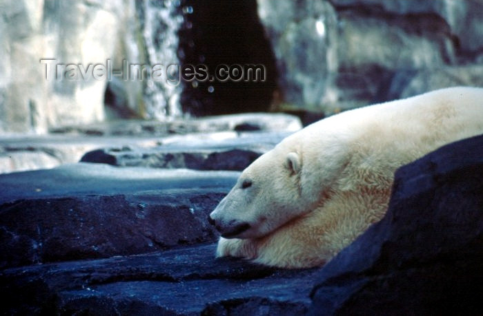 alaska44: Alaska - Anchorage: polar bear taking a siesta - the zoo - Ursus maritimus - photo by F.Rigaud - (c) Travel-Images.com - Stock Photography agency - Image Bank