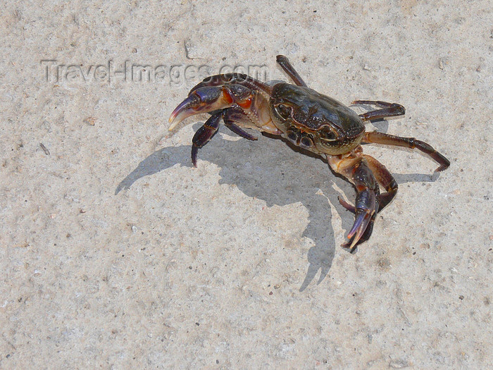 albania181: Pogradec, Korçë County, Albania: Ohrid Lake - crab on the white sand - defensive posture - photo by J.Kaman - (c) Travel-Images.com - Stock Photography agency - Image Bank