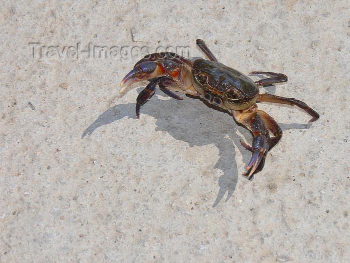 albania181: Pogradec, Korçë County, Albania: Ohrid Lake - crab on the white sand - defensive posture - photo by J.Kaman - (c) Travel-Images.com - Stock Photography agency - Image Bank