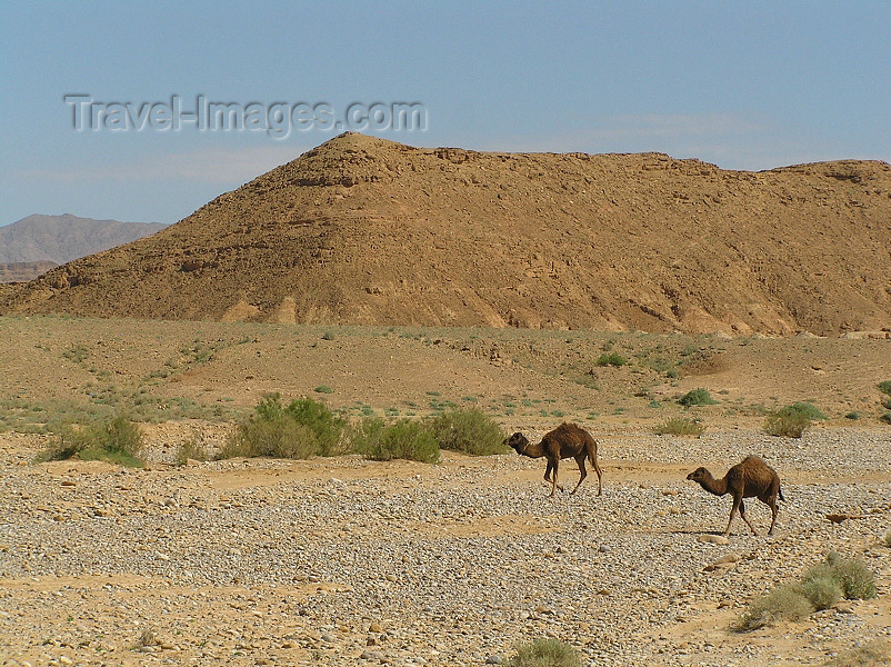 algeria121: Algérie / Algerie - Sahara: camels in the desert - photo by J.Kaman - chameaux dans le désert - (c) Travel-Images.com - Stock Photography agency - Image Bank