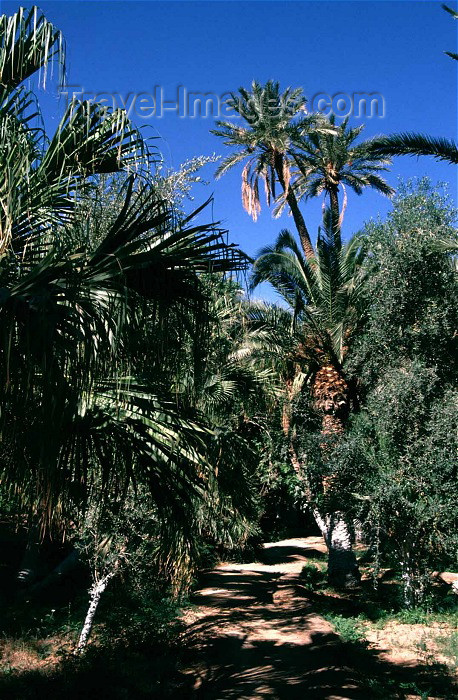 algeria14: Algeria / Algérie - Biskra: Landon botanical garden - palms - nature's garden - photo by C.Boutabba - Jardin botanique de Landon - palmiers - (c) Travel-Images.com - Stock Photography agency - Image Bank