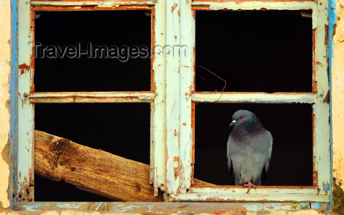algeria346: Algeria / Algérie - Béjaïa / Bougie / Bgayet - Kabylie: pigeon on a window - kasbah | pigeon sur une fenêtre - casbah - photo by M.Torres - (c) Travel-Images.com - Stock Photography agency - Image Bank