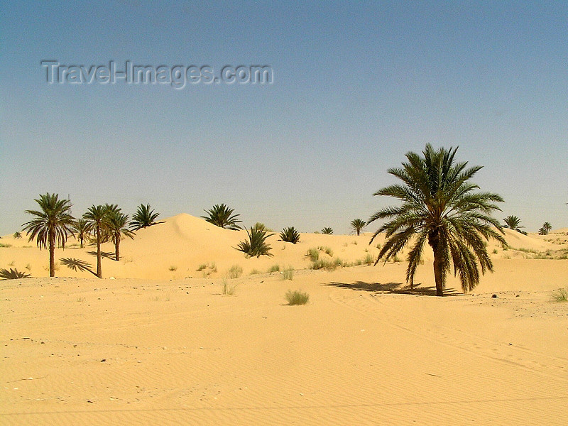 algeria35: Algérie / Algerie - Sahara desert: lone palms - photo by J.Kaman - palmiers et sable - (c) Travel-Images.com - Stock Photography agency - Image Bank