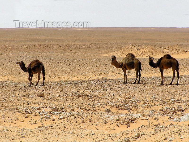 algeria68: Algérie / Algerie - Sahara: three camels in the desert - photo by J.Kaman - 3 chameaux dans le désert - (c) Travel-Images.com - Stock Photography agency - Image Bank