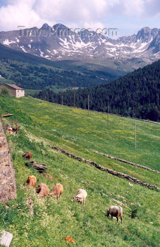 andorra30: Andorra - Soldeu: cows grazing - Pyrenees (photo by M.Torres) - (c) Travel-Images.com - Stock Photography agency - Image Bank