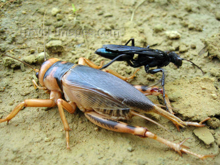 angola34: Angola: large cricket and wasp - fauna - insects - African wildlife / grilo e vespa - photo by A.Parissis - (c) Travel-Images.com - Stock Photography agency - Image Bank