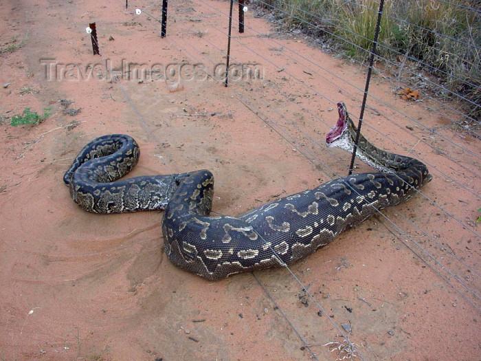 angola36: Angola: snake digesting a deer gets caught in an electrical fence - reptile - African wildlife / cobra a digerir um veado fica presa numa vedação eléctrica - fauna de África - photo by A.Parissis - (c) Travel-Images.com - Stock Photography agency - Image Bank