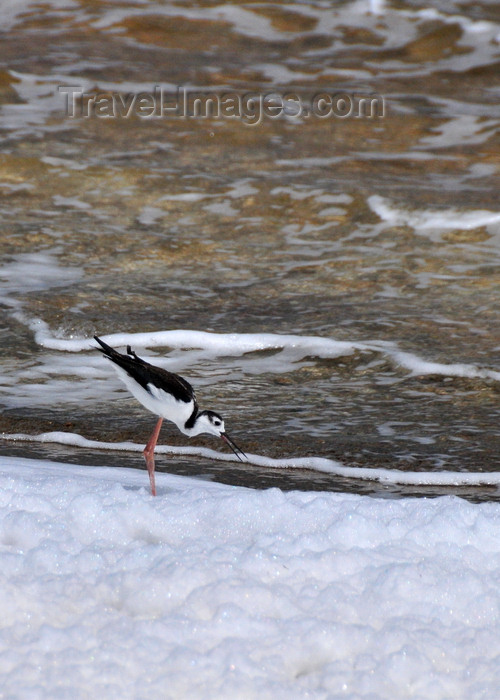 anguilla37: Cove Pond, West End Village, Anguilla: Black-necked Stilt - Himantopus mexicanus - shorebird - natural white foam - photo by M.Torres - (c) Travel-Images.com - Stock Photography agency - Image Bank