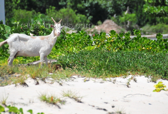 anguilla48: Blowing Point, Anguilla: white goat on the beach - photo by M.Torres - (c) Travel-Images.com - Stock Photography agency - Image Bank