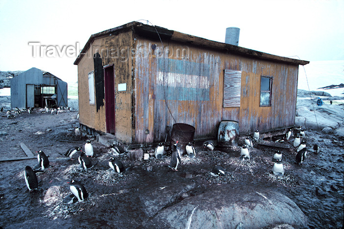 antarctica22: Petermann Island: Gentoo Penguins around a basic survival hut erected by the Argentines in 1950's, providing essential food and shelter for marooned explorers - photo by R.Eime - (c) Travel-Images.com - Stock Photography agency - Image Bank