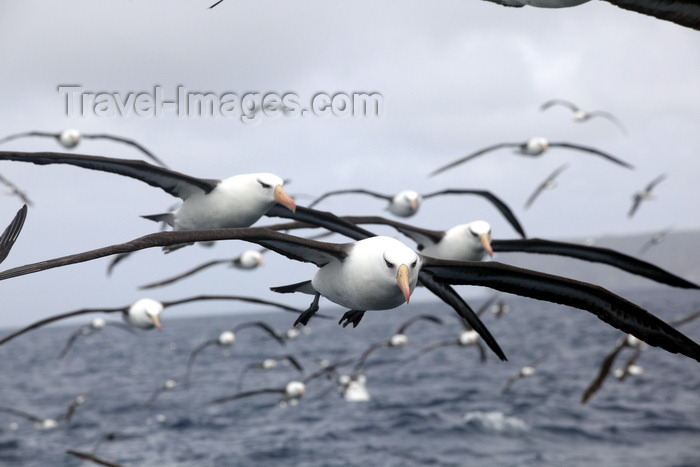 antarctica26: Commonwealth Bay, East Antarctica: albatrosses are constant companions - photo by R.Eime - (c) Travel-Images.com - Stock Photography agency - Image Bank