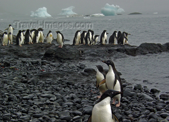 antarctica30: Brown Bluff, Antarctic peninsula - Antarctica: penguins, pebbles and icebergs - photo by M.Powell - (c) Travel-Images.com - Stock Photography agency - Image Bank