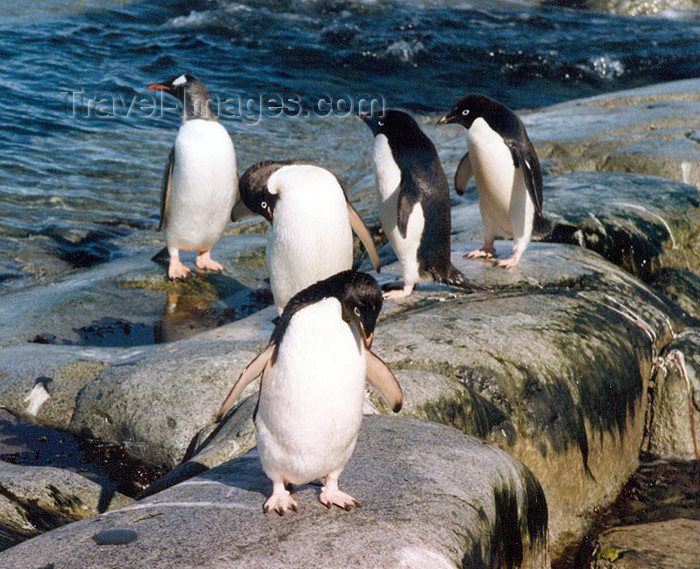 antarctica5: Petermann Island, Antarctica: Gentoo and Adelie penguins on the rocks - photo by G.Frysinger - (c) Travel-Images.com - Stock Photography agency - Image Bank
