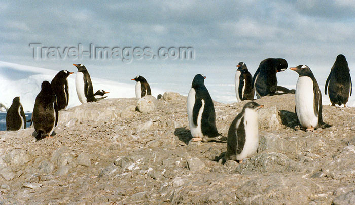 antarctica6: Trinity Island, Palmer Archipelago, Antarctica: penguins looking in all directions - photo by G.Frysinger - (c) Travel-Images.com - Stock Photography agency - Image Bank