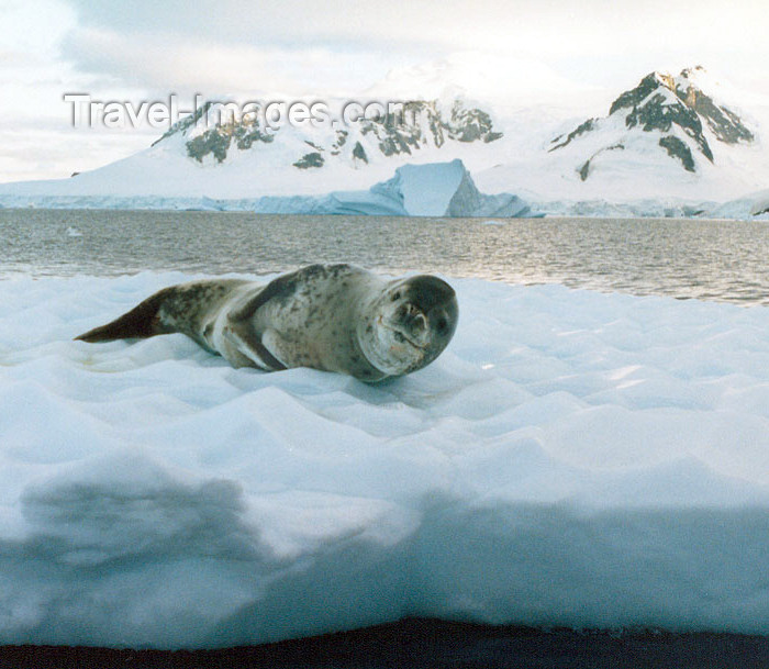 antarctica8: Petermann Island, Antarctica: leopard seal on the ice - photo by G.Frysinger - (c) Travel-Images.com - Stock Photography agency - Image Bank
