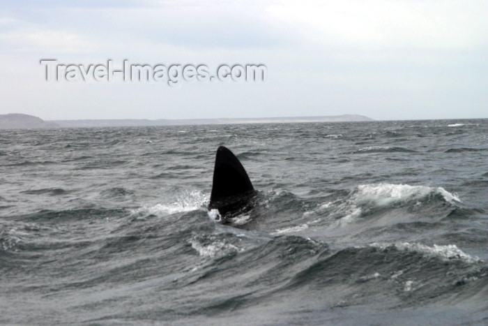 argentina121: Argentina - Patagonia - Puerto Madryn - Valdez Peninsula (Chubut): whale (photo by N.Cabana) - (c) Travel-Images.com - Stock Photography agency - Image Bank