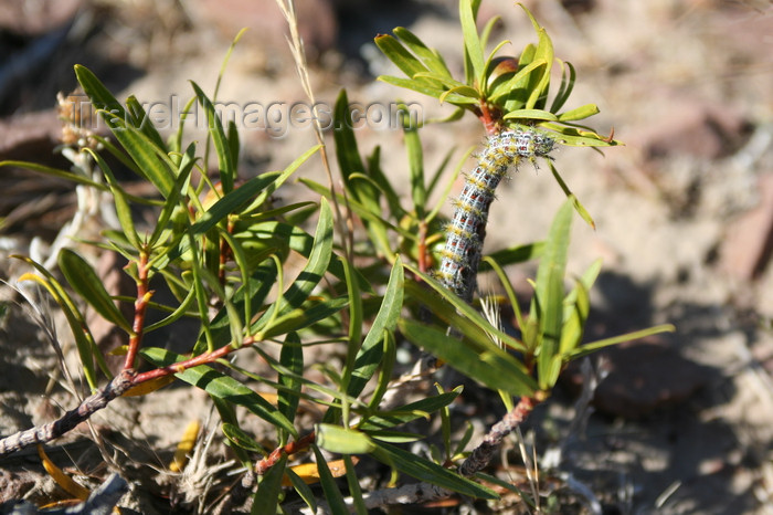 argentina163: Argentina - Caleta Horno - Bahía Gil (Chubut Province): caterpillar / oruga - photo by C.Breschi - (c) Travel-Images.com - Stock Photography agency - Image Bank