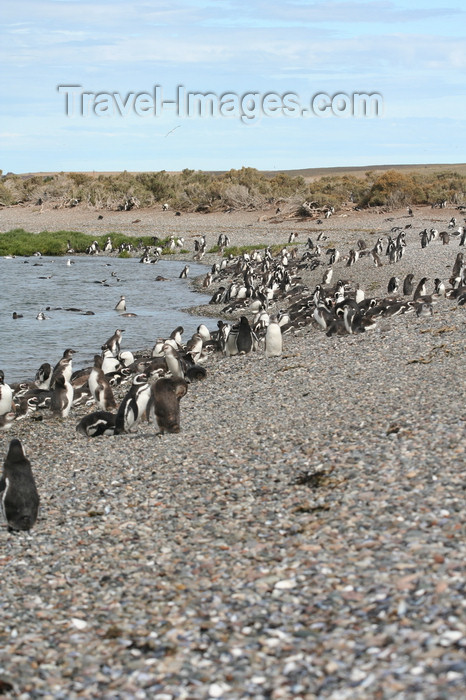 argentina171: Argentina - Puerto Deseado  (Patagonia, Santa Cruz Province): Magellanic Penguins rookery - photo by C.Breschi - (c) Travel-Images.com - Stock Photography agency - Image Bank