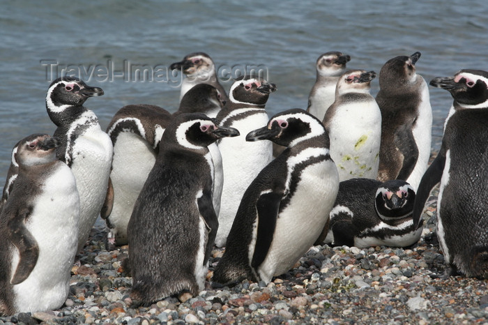 argentina172: Argentina - Puerto Deseado  (Patagonia, Santa Cruz Province): Magellanic Penguins on the beach - Jackass - Spheniscus magellanicus - Pingüino de Magallanes - photo by C.Breschi - (c) Travel-Images.com - Stock Photography agency - Image Bank