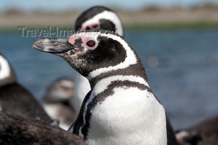 argentina173: Argentina - Puerto Deseado  (Patagonia, Santa Cruz Province): Magellanic Penguin - head - Jackass - Spheniscus magellanicus - Pingüino de Magallanes - photo by C.Breschi - (c) Travel-Images.com - Stock Photography agency - Image Bank