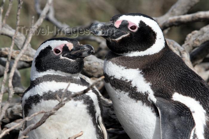 argentina175: Argentina - Puerto Deseado  (Patagonia, Santa Cruz Province): Magellanic Penguins - pair - Jackass - Spheniscus magellanicus - Pingüino de Magallanes - photo by C.Breschi - (c) Travel-Images.com - Stock Photography agency - Image Bank