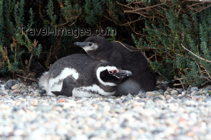 argentina176: Argentina - Puerto Deseado  (Patagonia, Santa Cruz Province): Magellanic Penguin colony - with egg and chick - Jackass - Spheniscus magellanicus - Pingüino de Magallanes - photo by C.Breschi - (c) Travel-Images.com - Stock Photography agency - Image Bank