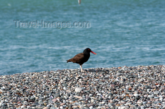 argentina177: Argentina - Puerto Deseado  (Patagonia, Santa Cruz Province): Oystercatcher on the beach - photo by C.Breschi - (c) Travel-Images.com - Stock Photography agency - Image Bank