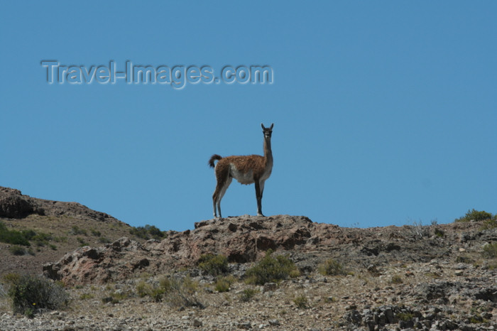 argentina178: Argentina - Caleta Horno - Bahía Gil (Chubut Province): guanaco - Lama guanicoe - photo by C.Breschi - (c) Travel-Images.com - Stock Photography agency - Image Bank