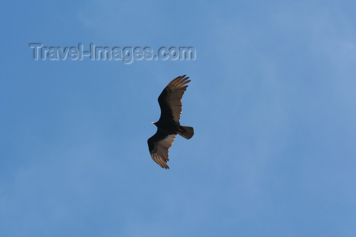 argentina180: Argentina - Caleta Horno - Bahía Gil (Chubut Province): Turkey Vulture - Cathartes aura - Aura común - Urubu à tête rouge - photo by C.Breschi - (c) Travel-Images.com - Stock Photography agency - Image Bank